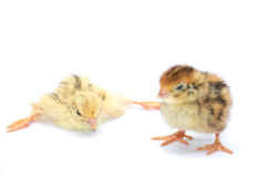 Yellow and brown baby quail Stock Photo