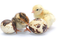 Yellow and brown baby quail Stock Images