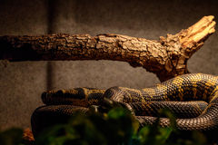 Yellow and Brown Banded Snake Stock Photos