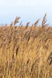 Yellow and brown blades of grass in the wind royalty free stock images