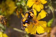 Yellow and Brown Butterly on Yellow Flower Royalty Free Stock Photos
