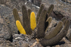 Yellow and brown Cactus on lava Royalty Free Stock Photos