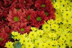 Yellow and brown Chrysanthemum Stock Image