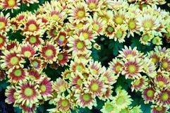 Yellow-brown Chrysarthemum Stock Photos