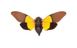 Yellow and brown cicada Trengganua sybylla Royalty Free Stock Photo
