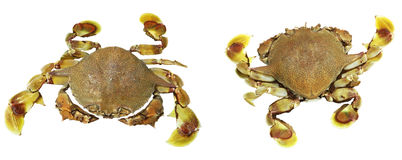 Yellow-brown crabs Stock Photos