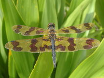 Yellow and Brown Dragonfly Royalty Free Stock Image