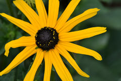 Yellow Brown-Eyed Susan Flower Royalty Free Stock Photo