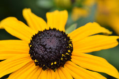 Yellow Brown-Eyed Susan Royalty Free Stock Photos