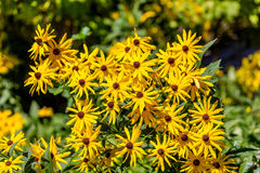 Yellow Brown-Eyed Susans with Green Foliage Royalty Free Stock Photo