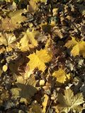 Yellow-brown fallen maple leaves background base stock photo