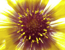 Yellow-brown flower on a blurred background. Closeup. Furry violet center. Pistils sticking out like needles.  For design. Stock Photo