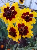 Yellow and Brown Flowers. Yellow brown flowers garden nature pretty delicate royalty free stock photo