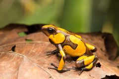 Yellow and brown harlequin poison dart frog. This small dartfrog is an animal from the rain forest of COlombia royalty free stock photo