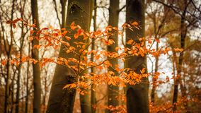 Golden forest during fall Royalty Free Stock Photo
