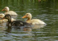 Yellow and brown mallard chicks, ducklings swimming in a green lake. stock photography