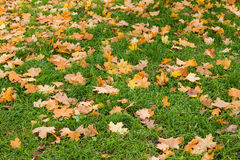 Yellow and brown maple leaves on green grass Stock Images