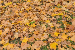 Yellow and brown maple leaves on green grass Royalty Free Stock Image
