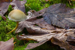 Yellow and Brown. Mushrooms grows amoung leaves in old growth forests of western Stock Photo
