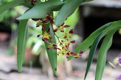 Yellow with brown orchid on the tree hanging for ornamentation. Orchids occur worldwide, especially as epiphytes in tropical forests, and are valuable hothouse royalty free stock photo