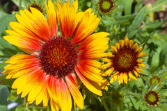 Yellow and brown rudbeckia flowers Stock Photography