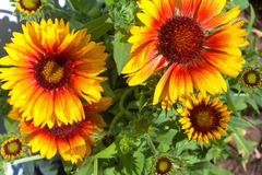 Yellow and brown rudbeckia flowers Stock Images