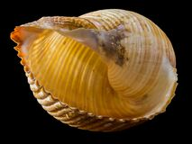 Yellow and Brown Sea Shell Royalty Free Stock Photos