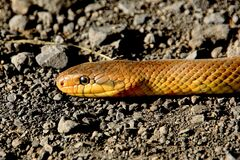 Yellow Brown Snake on Ground Royalty Free Stock Photography
