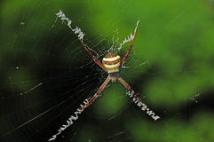 Yellow-brown spider Royalty Free Stock Images