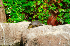 Yellow brown turtle with long neck Royalty Free Stock Image