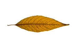 Yellow-brown willow leaf. Yellow-brown willow  leaf isolated on the white background Royalty Free Stock Image