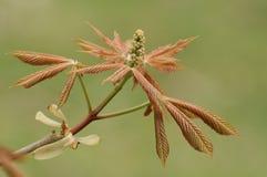 Yellow Buckeye Tree - Aesculus flava Royalty Free Stock Images