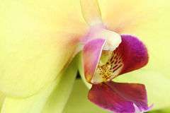Yellow bud blooming orchid  background Royalty Free Stock Photo