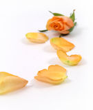 Yellow bud and petals Stock Photo