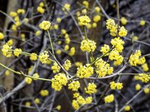 Yellow Budding Branches. On a tree in the spring stock image