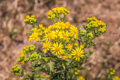 Yellow budding and flowering common ragwort from close Stock Photos