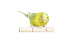 Yellow budgerigar Stock Photos