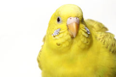 Yellow budgerigar Stock Photography
