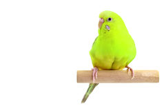 Yellow budgerigar Stock Image