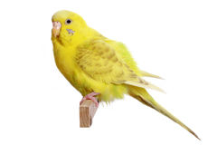 Yellow budgerigar on a branch Royalty Free Stock Photography