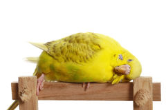 Yellow budgerigar on a branch Royalty Free Stock Images