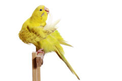 Yellow budgerigar on a branch cleans feathers Royalty Free Stock Images