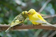 Yellow budgerigar. Couple yellow budgerigar kissing love Royalty Free Stock Photography