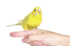 Yellow budgerigar on finger Royalty Free Stock Photos