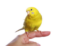 Yellow budgerigar on a finger Royalty Free Stock Image