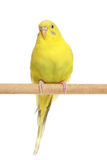 Yellow Budgerigar on a stick Stock Photos