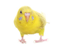 Yellow budgie Royalty Free Stock Image