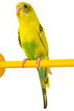 Yellow budgie Stock Photos