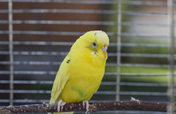 Yellow Budgie In A Cage Royalty Free Stock Photos
