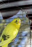 Yellow Budgie Stock Images